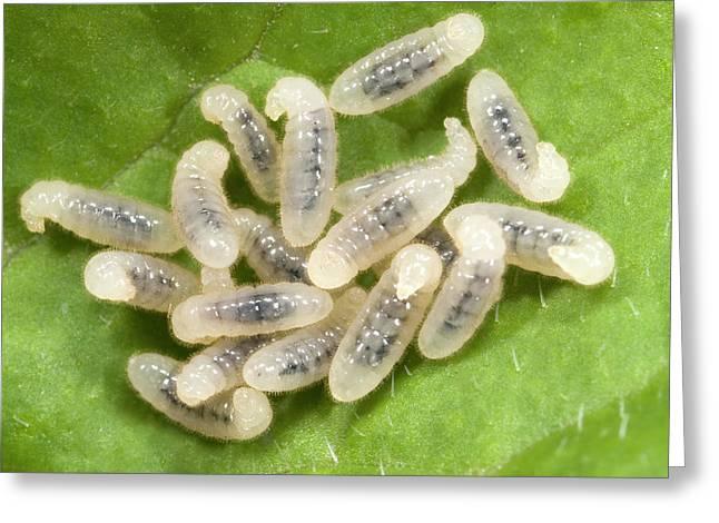Black Garden Ant Larvae Greeting Card