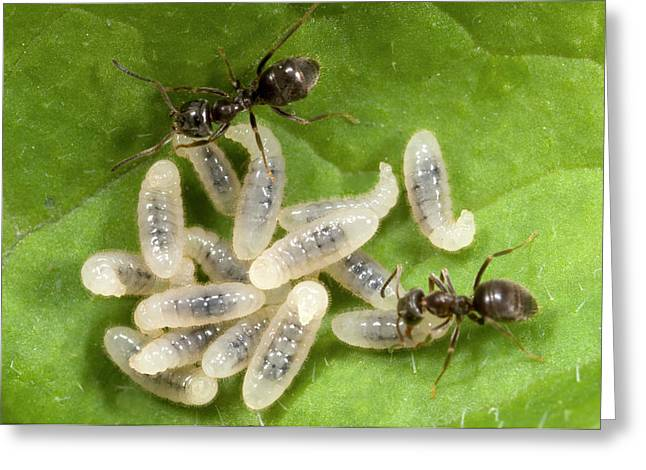 Black Garden Ants Carrying Larvae Greeting Card by Nigel Downer