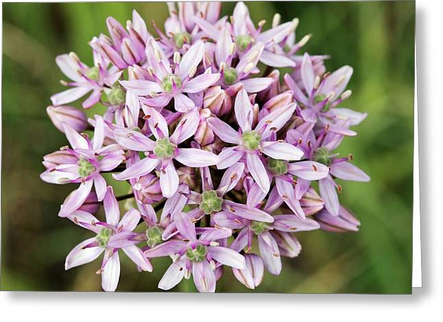 Black Garlic (allium Nigrum) In Flower Greeting Card