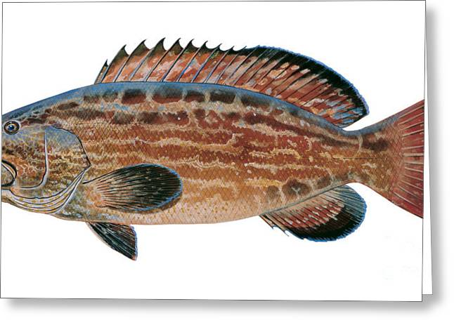 Bonefish Greeting Cards - Black Grouper Greeting Card by Carey Chen