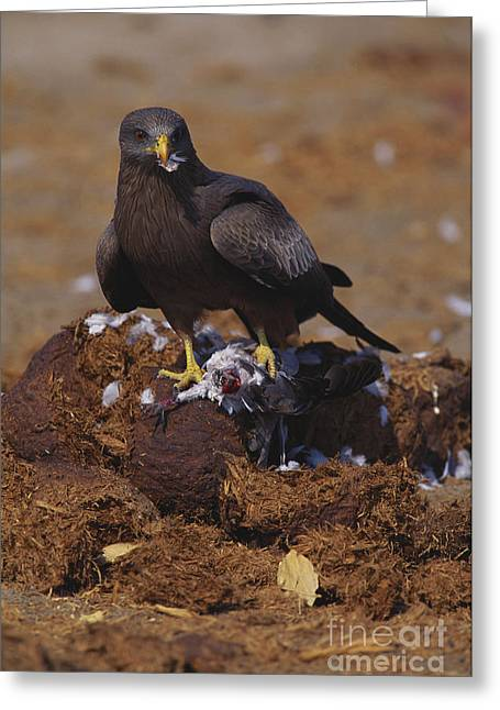 Black Kite Greeting Card