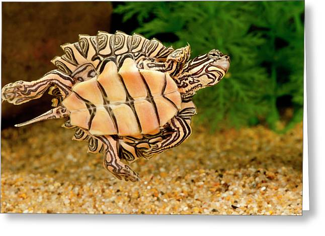Black-knobbed Sawback Turtle, Graptemys Greeting Card by David Northcott