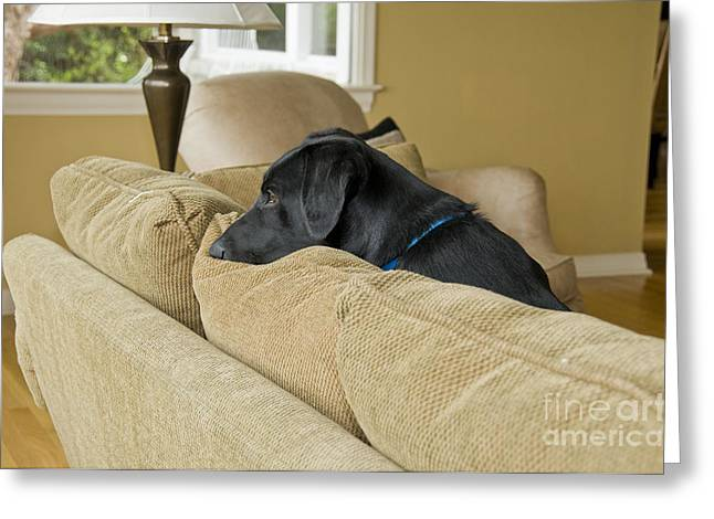 Black Lab On Couch Greeting Card by William H. Mullins