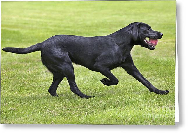 Black Labrador Playing Greeting Card by Johan De Meester