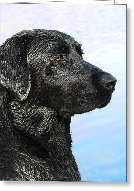 Black Labrador Retriever After The Swim Greeting Card