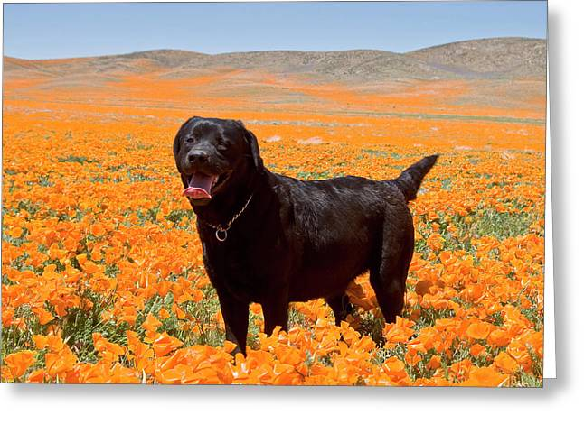 Black Labrador Retriever Standing Greeting Card by Zandria Muench Beraldo