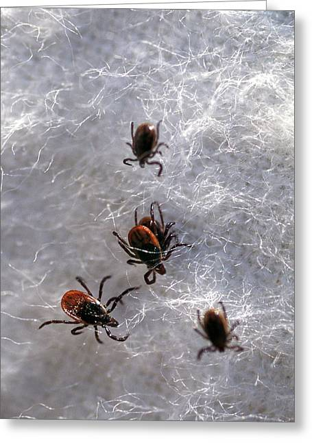 Black-legged Ticks Greeting Card by Keith Weller/us Department Of Agriculture