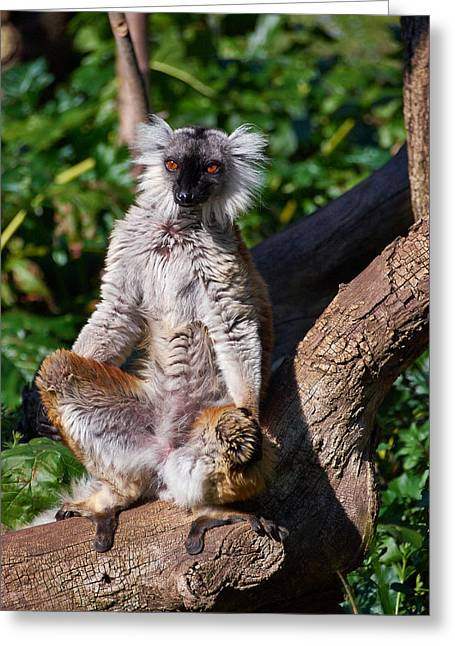 Black Lemur Greeting Card by Jouko Lehto