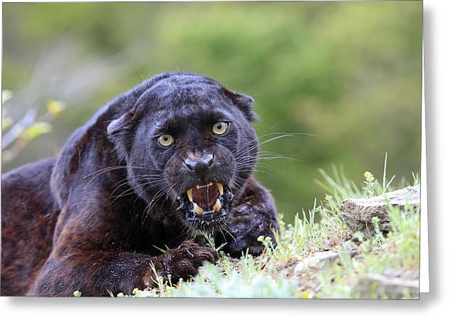 Black Leopard Snarling Greeting Card by M. Watson