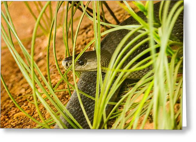 Black Mamba Resting Greeting Card