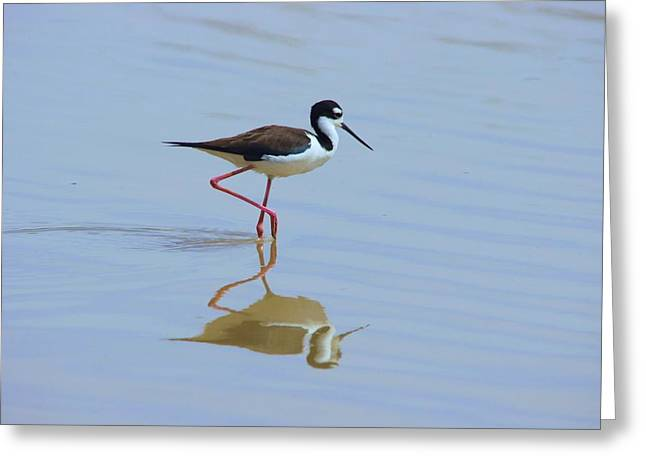 Black Necked Stilt Greeting Card