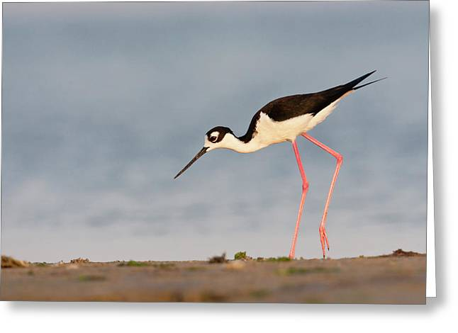 Black- Necked Stilt (himantopus Greeting Card by Larry Ditto