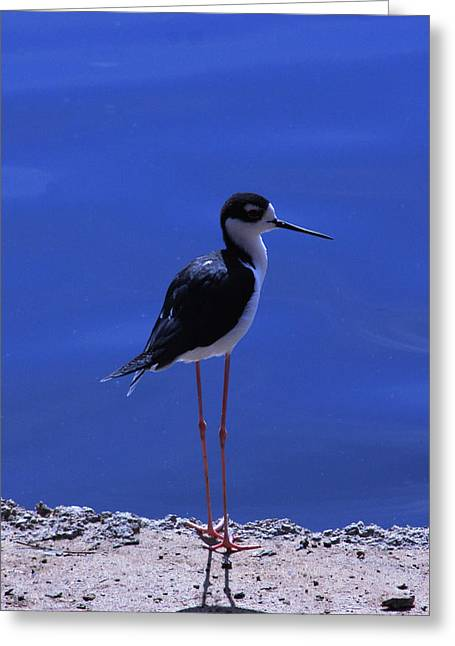 Greeting Card featuring the photograph Black-necked Stilt by Richard Stephen