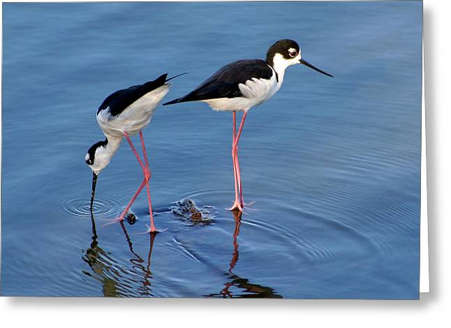 Greeting Card featuring the photograph Black-necked Stilts by Bob and Jan Shriner