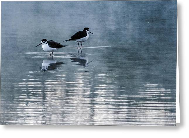 Black-necked Stilts Greeting Card