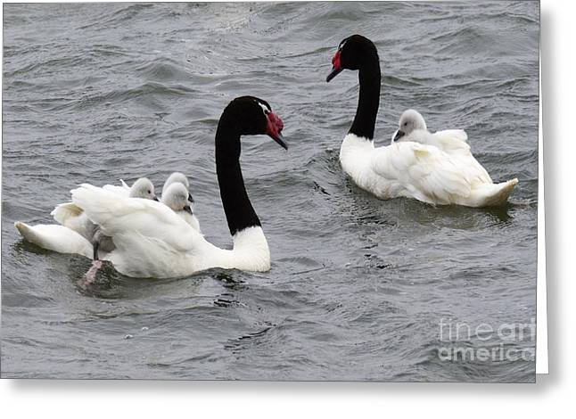 Black Necked Swans Patagonia 1 Greeting Card by Bob Christopher
