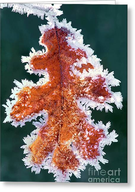 Black Oak Leaf Rime Ice Yosemite National Park California Greeting Card