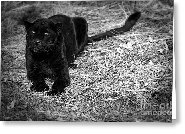 Black On Black Leopards Greeting Card by Wildlife Fine Art