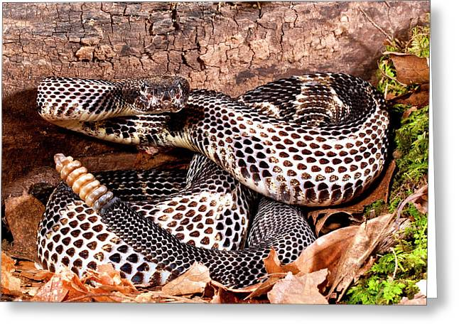 Black Phase Timber Rattlesnake Greeting Card by David Northcott