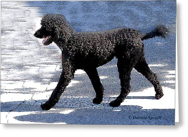 Black Poodle Greeting Card by Everett Spruill