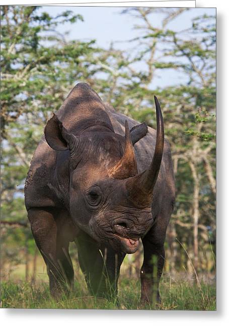 Black Rhino (diceros Bicornis Greeting Card
