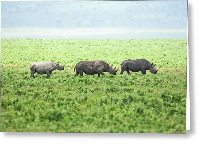 Black Rhinoceros (diceros Bicornis) Greeting Card