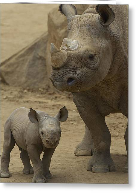 Black Rhinoceros Mother And Calf Greeting Card by San Diego Zoo