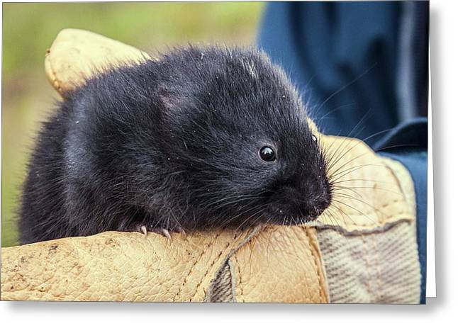 Black Scottish Water Vole Greeting Card by Paul Williams