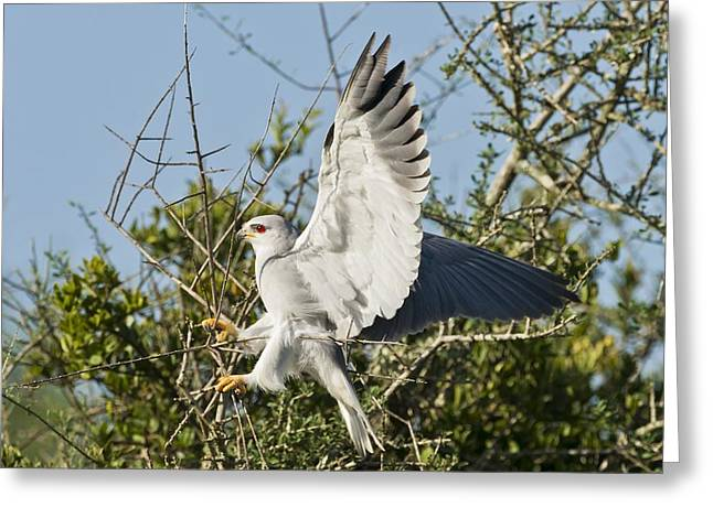 Black-shouldered Kite Greeting Card by Science Photo Library