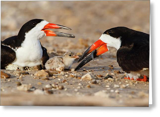 Black Skimmer And Chick Greeting Card by Larry Ditto