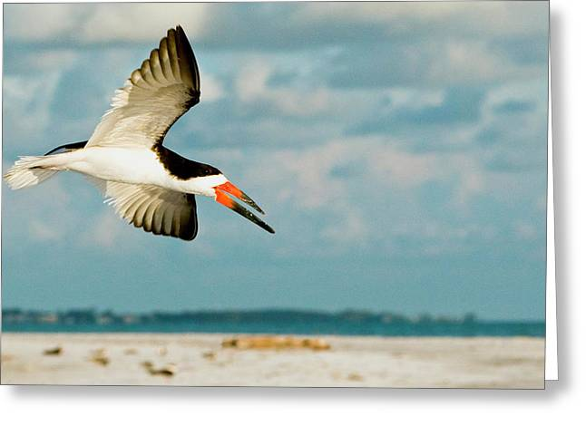 Black Skimmer Bird Flying Close Greeting Card