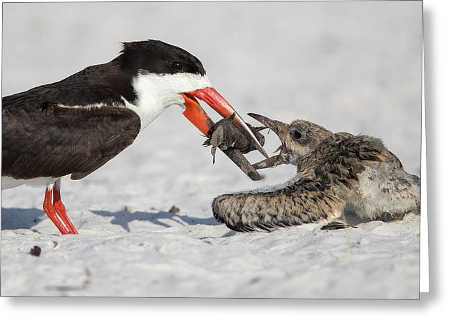 Black Skimmer Chick Going For Fish Greeting Card by Maresa Pryor