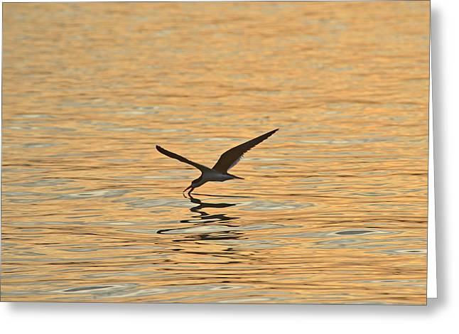 Greeting Card featuring the photograph Black Skimmer by Dana Sohr