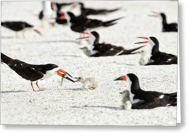 Black Skimmer Feeding Chick (large Greeting Card
