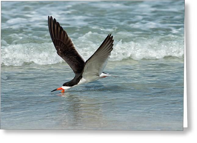 Black Skimmer Feeding In Water Flying Greeting Card