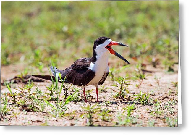 Black Skimmer Greeting Card by Paul Williams