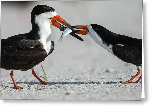 Black Skimmer Protecting Minnow Greeting Card by Maresa Pryor