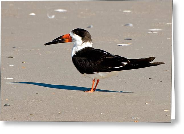 Black Skimmer Greeting Card by Rich Leighton