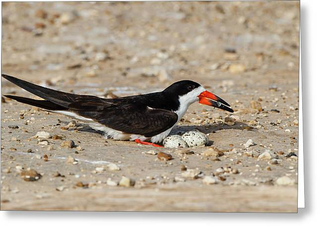 Black Skimmer (rynchops Niger Greeting Card by Larry Ditto