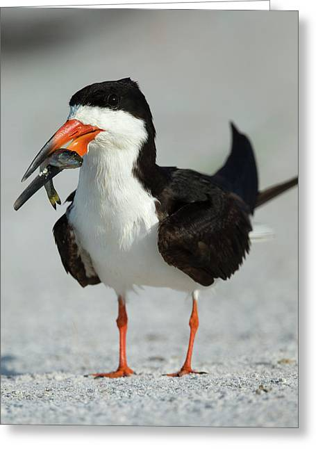Black Skimmer The Winner With The Food Greeting Card by Maresa Pryor