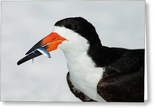Black Skimmer With Green-back Minnow Greeting Card by Maresa Pryor