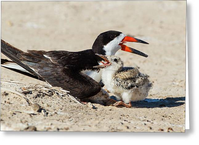 Black Skimmers At Nesting Colony Greeting Card