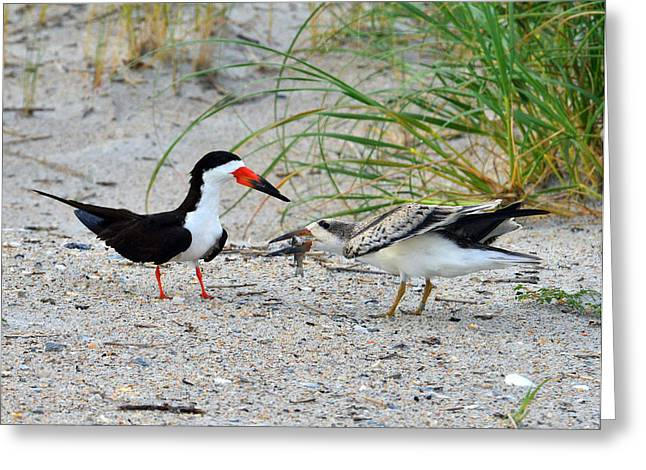 Greeting Card featuring the photograph Black Skimmers by Dana Sohr