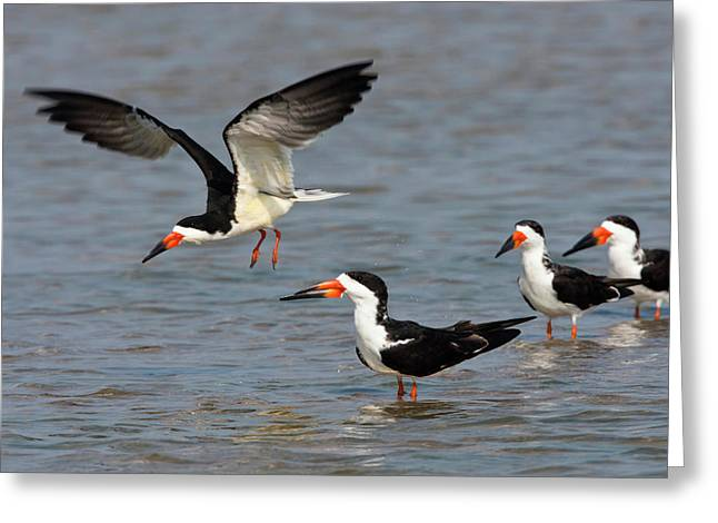 Black Skimmers (rynchops Niger Greeting Card by Larry Ditto