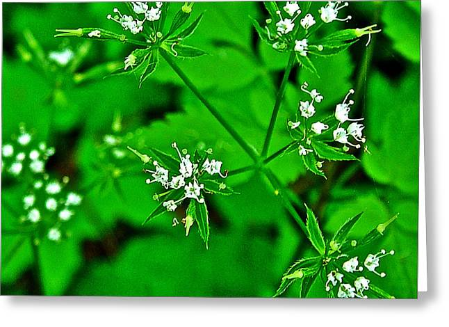 Black Snakeroot In Donivan Slough At Mile 283 On Natchez Trace Parkway-mississippi  Greeting Card