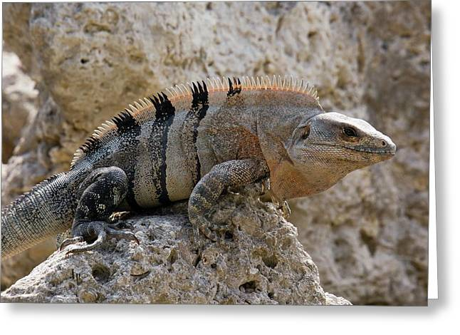 Black Spiny-tailed Iguana Greeting Card by Bob Gibbons