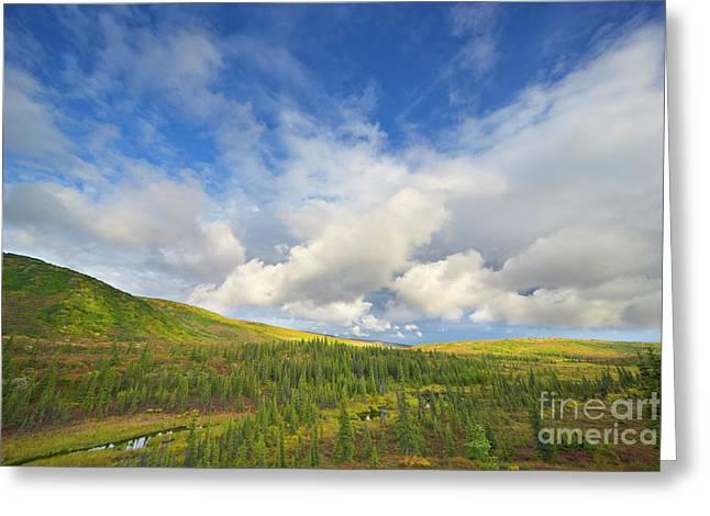 Black Spruce On Fall Tundra  Greeting Card by Yva Momatiuk John Eastcott