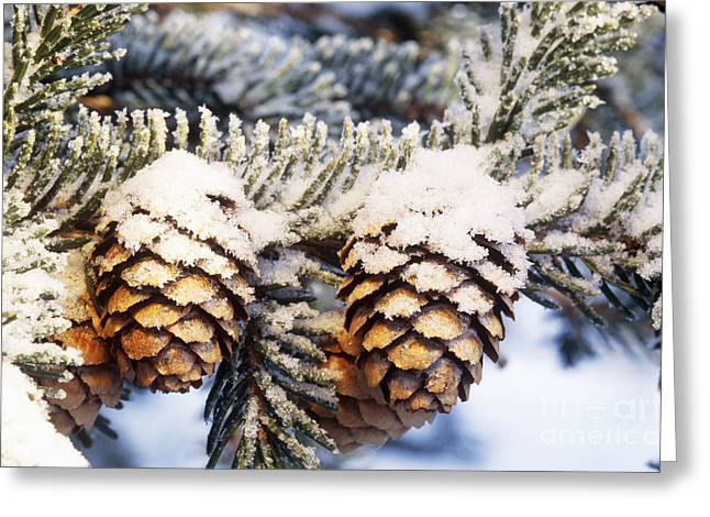 Black Spruce Cones Covered With Rime Ice Greeting Card