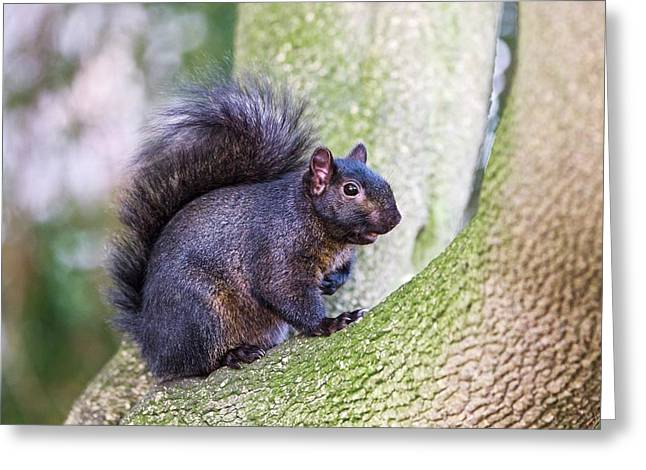 Black Squirrel In A Tree Greeting Card by John Devries