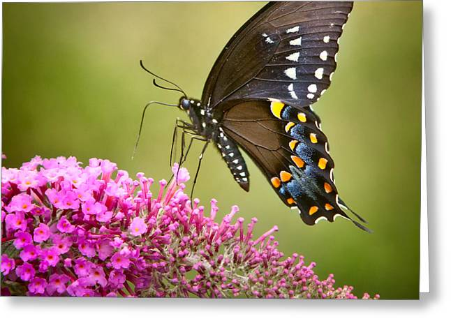 Black Swallowtail Greeting Card by Bill Wakeley